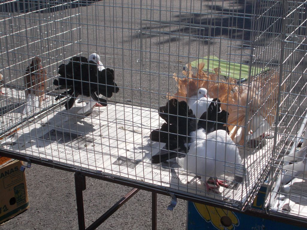 Сегодня коркинцы могли полюбоваться голубями и собаками, посетив сразу две выставки
