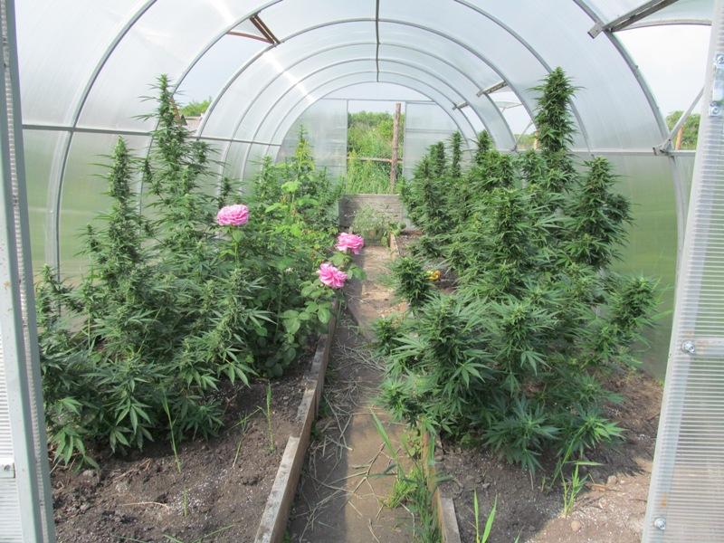 На Розе выявили женщину, выращивающую в теплицах коноплю