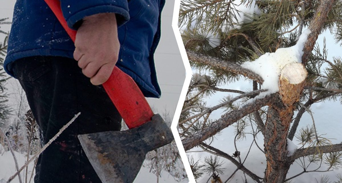 Вандалы срубили ёлку во дворе дома в Коркино