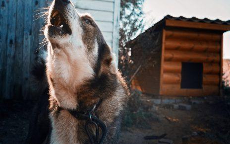 В Коркинском районе собака загрызла лису