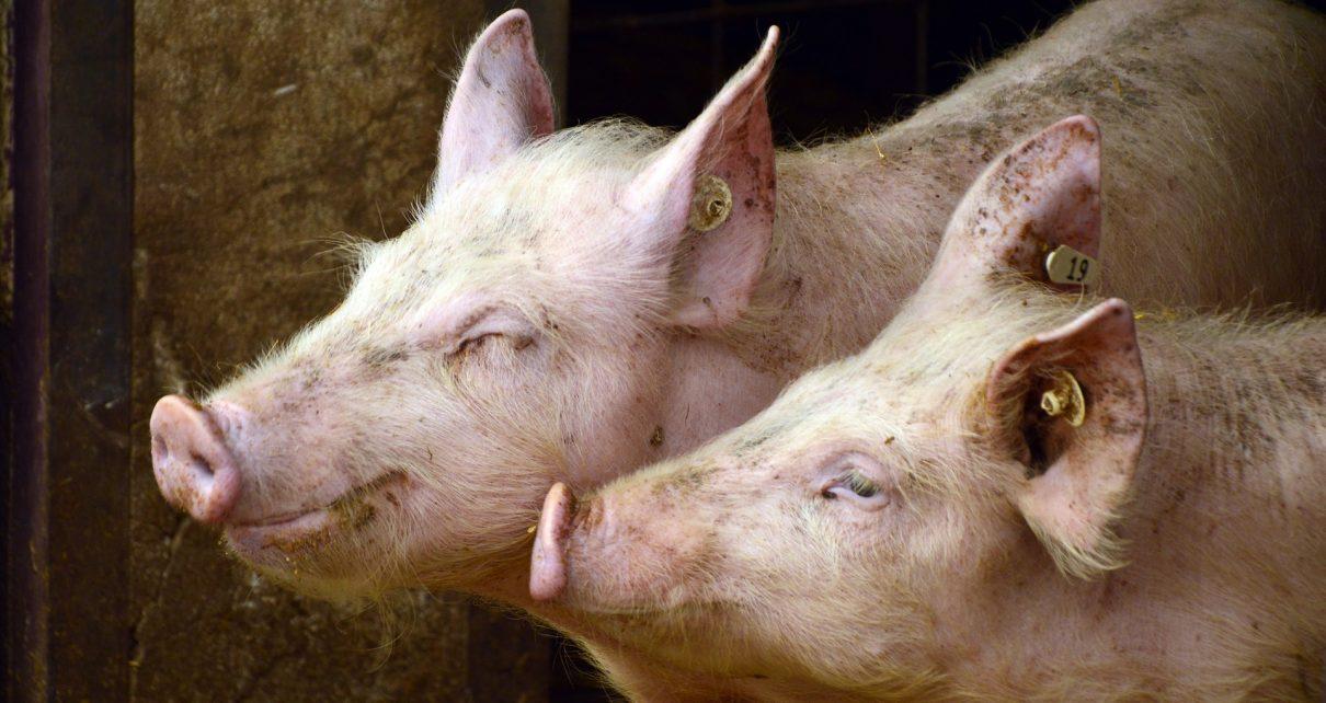В Коркино в одном из ЛПХ свиньи заболели африканской чумой. Всё поголовье утилизируют